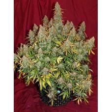 Эффект марихуаны с высоким содержанием КБД