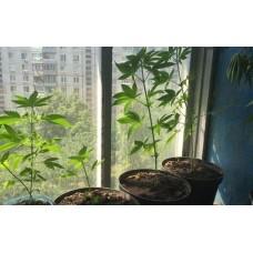 Особливості та підготовка до вирощування в домашніх умовах