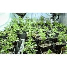 Кращі сорти конопель для вирощування в приміщенні