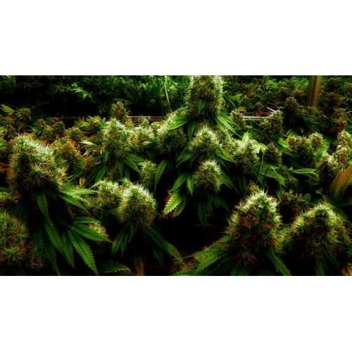 Как сделать феминизированные семена конопляные марихуана на занзибаре