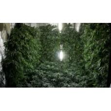 Особливості вирощування фотоперіодичного насіння конопель