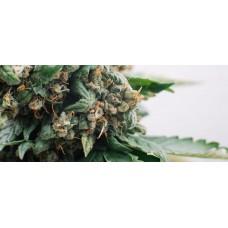 Ефект марихуани з високим вмістом ТГК